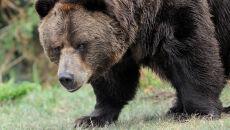Kule nie imają się niedźwiedzi