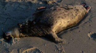 Bałtyk wyrzucił na brzeg martwe foki