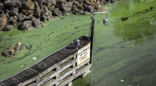Sinice w Południowej Florydzie (PAP/EPA/CRISTOBAL HERRERA)