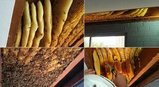 Usuwanie pszczół z mieszkania w Brisbane