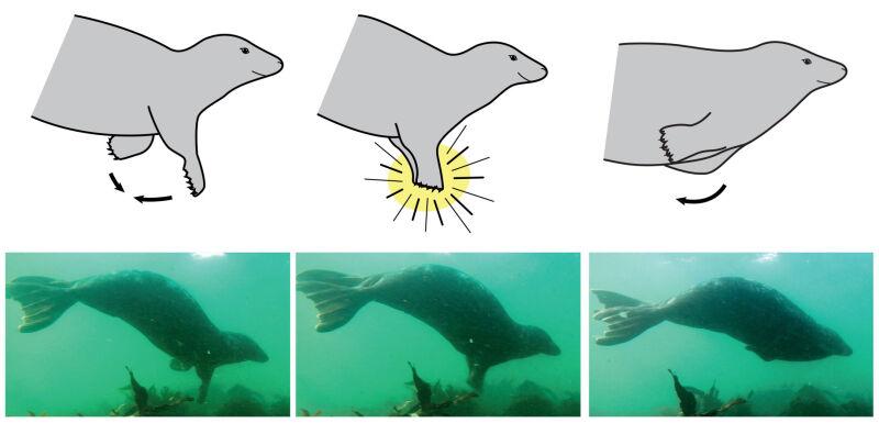 Schemat klaskania foki szarej pod wodą (Dr Ben Burville, Newcastle University)