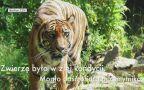 Tygrysicę odnaleźli mężczyźni